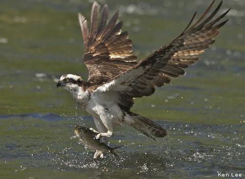 osprey_kenlee_479x350