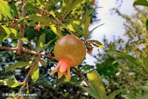 Pomegranate on tree, Tell Samaria, tb070507855