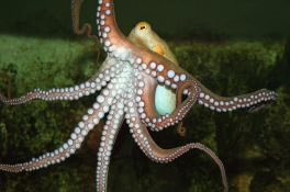 A921BR common octopus / Octopus vulgaris